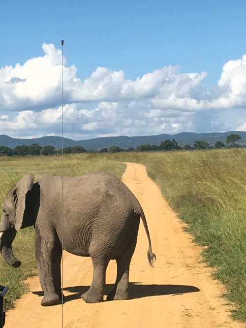 An elephant in the middle ofthe road in Mikumi National Park