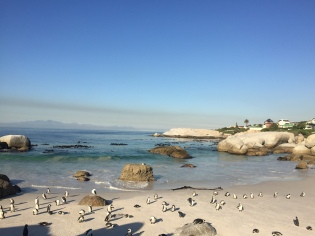 African Penguins at Boulders Beach!